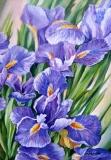 Olga Zakharova Art - Floral - Irisses